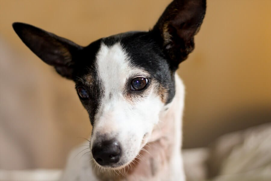 Jack - The little lost JRT dog who started Jo Lyons vocation in shelter photography