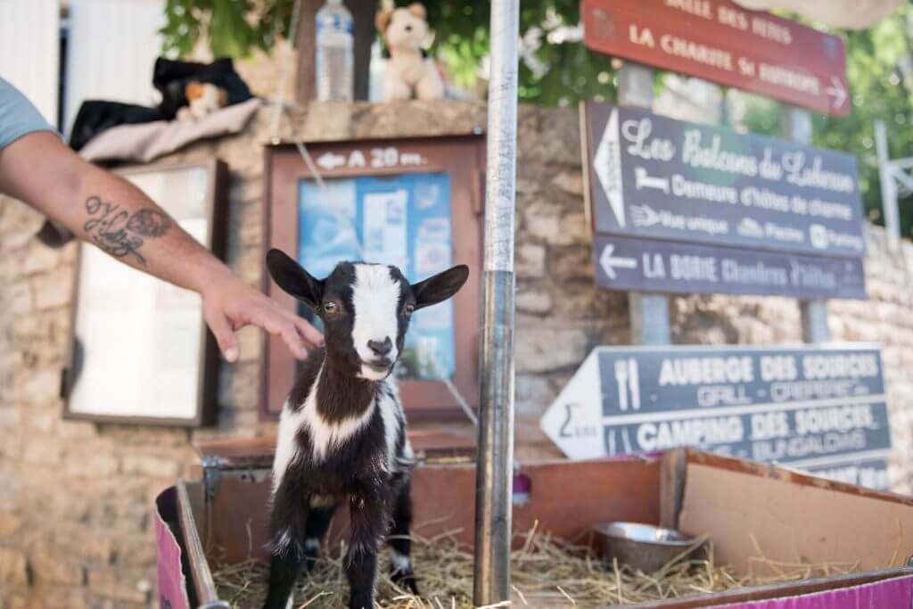 A baby goat at the farmer's market being used to raise money for animal rescue (allegedly)