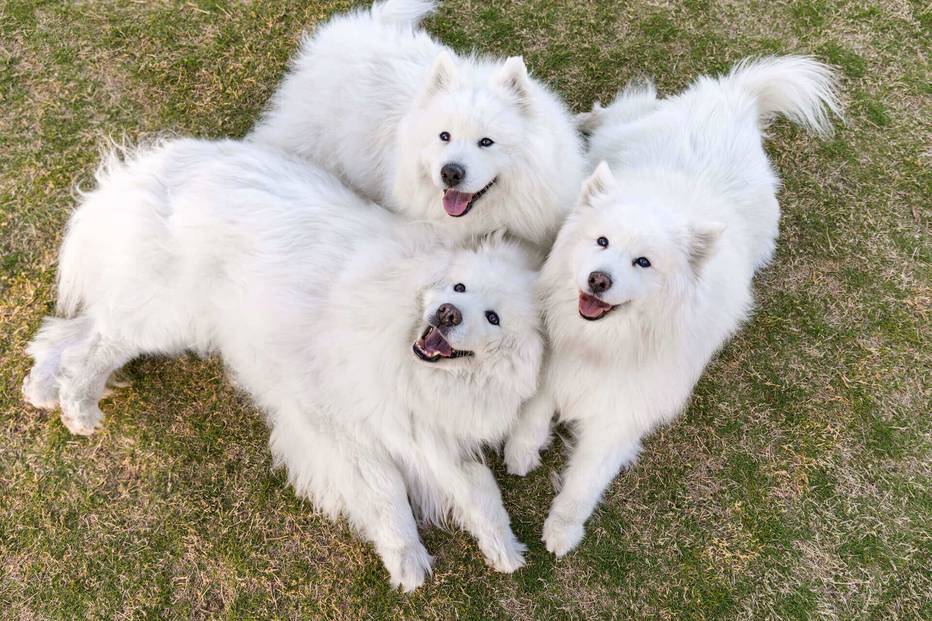 Max, Mia and Mya the Senior Samoyeds