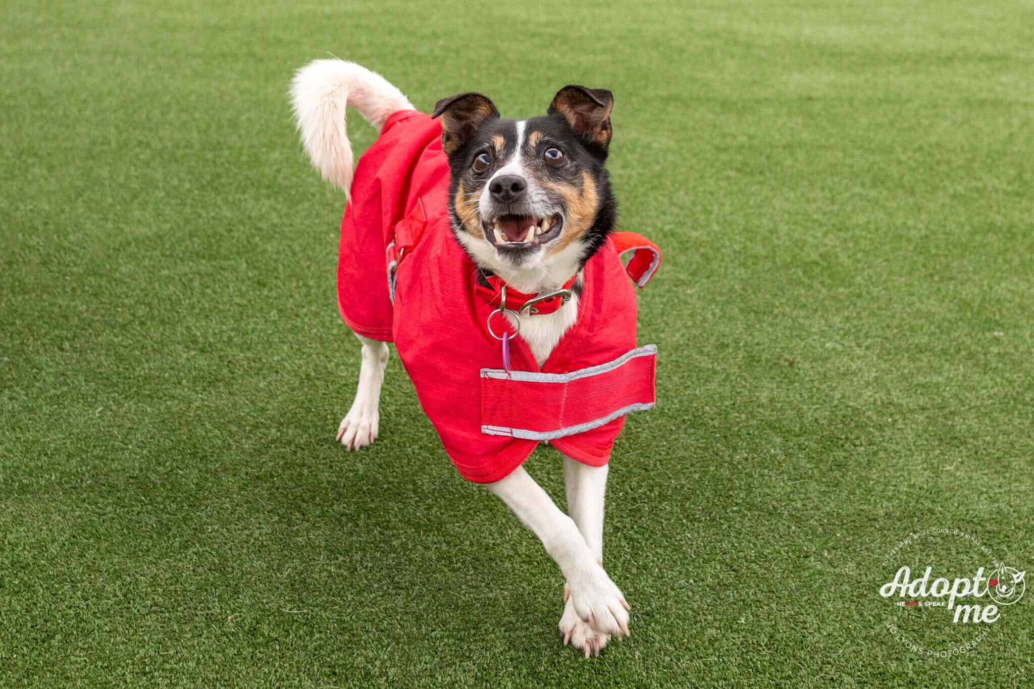 Adopt Me - Leonard the JRT x Foxie Dog