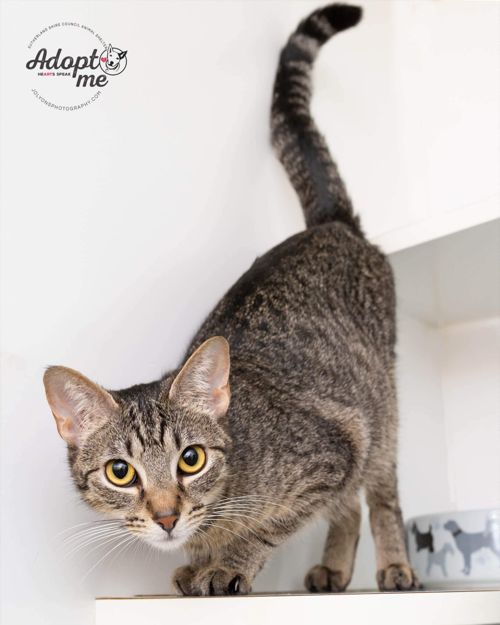 Kitty Minaj the gorgeous tabby cat available to adopt from Sutherland Shire Council Animal Shelter