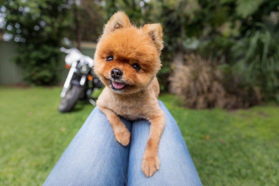 "King Pod the famous orange Pomeranian of ""Paws for Thought"" Rescue and the cover star of Teeny Tiny Dogs and their Stories"
