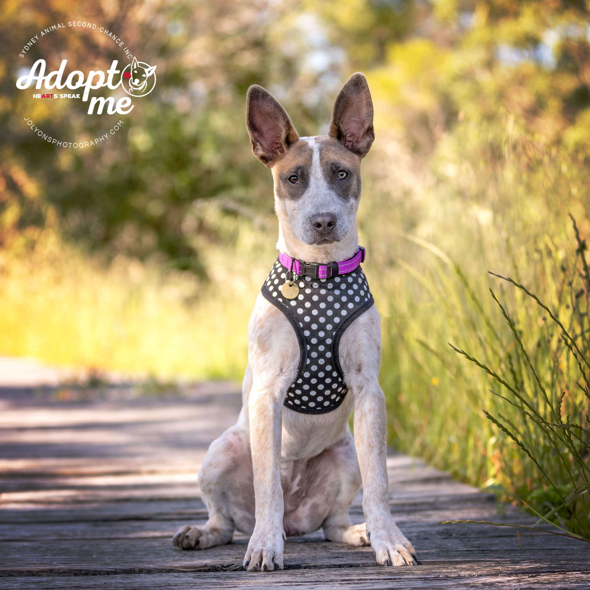 Lily Rose the female Cattle Dog Mix enjoys a walk at the Landing Lights Wetlands. Lily Rose is available to adopt now from Sydney Animal Second-Chance Inc