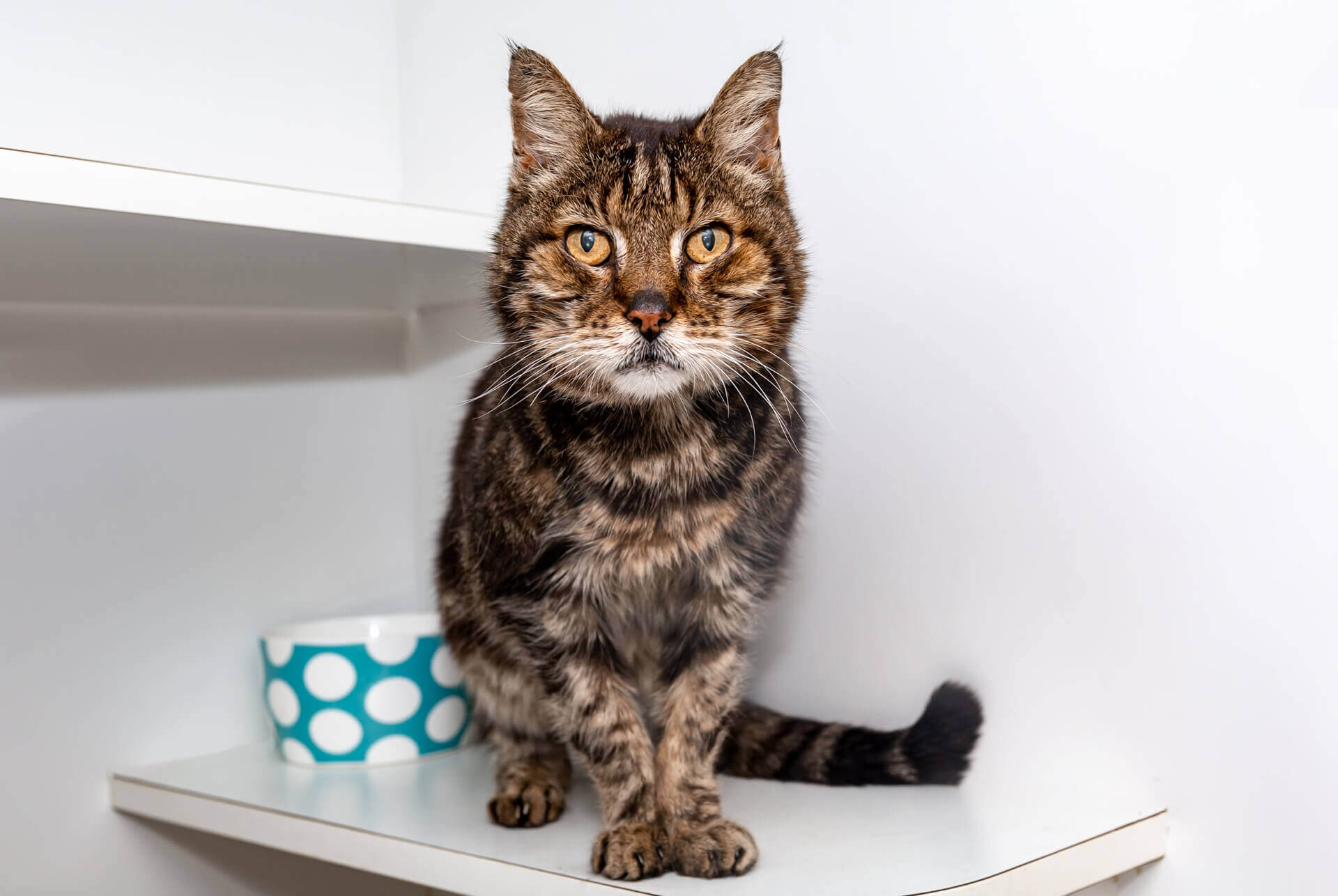 Wilbur the senior tabby cat for adoption