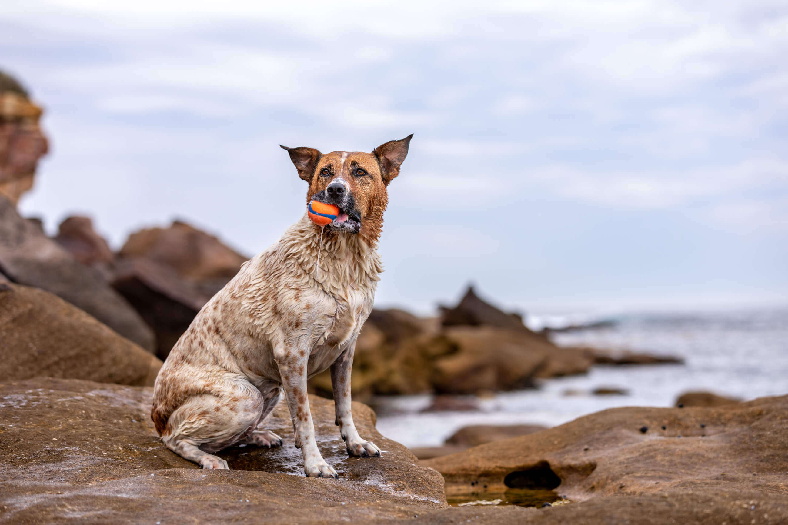 Tilly the Cattle Dog on rocks at beach with orange ball in her mouth