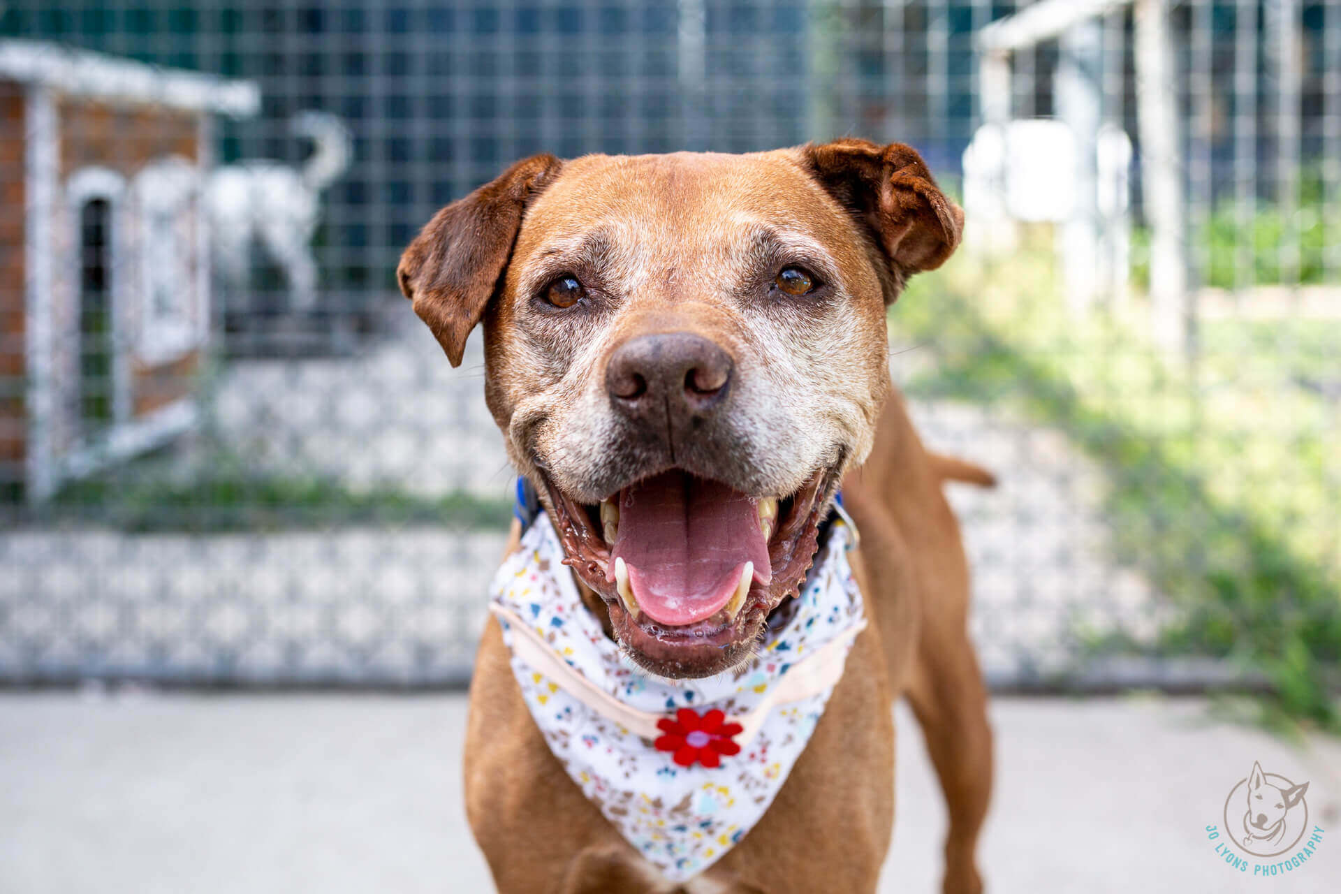 Adopt Daisy the Senior Staffy Bulldog Mix