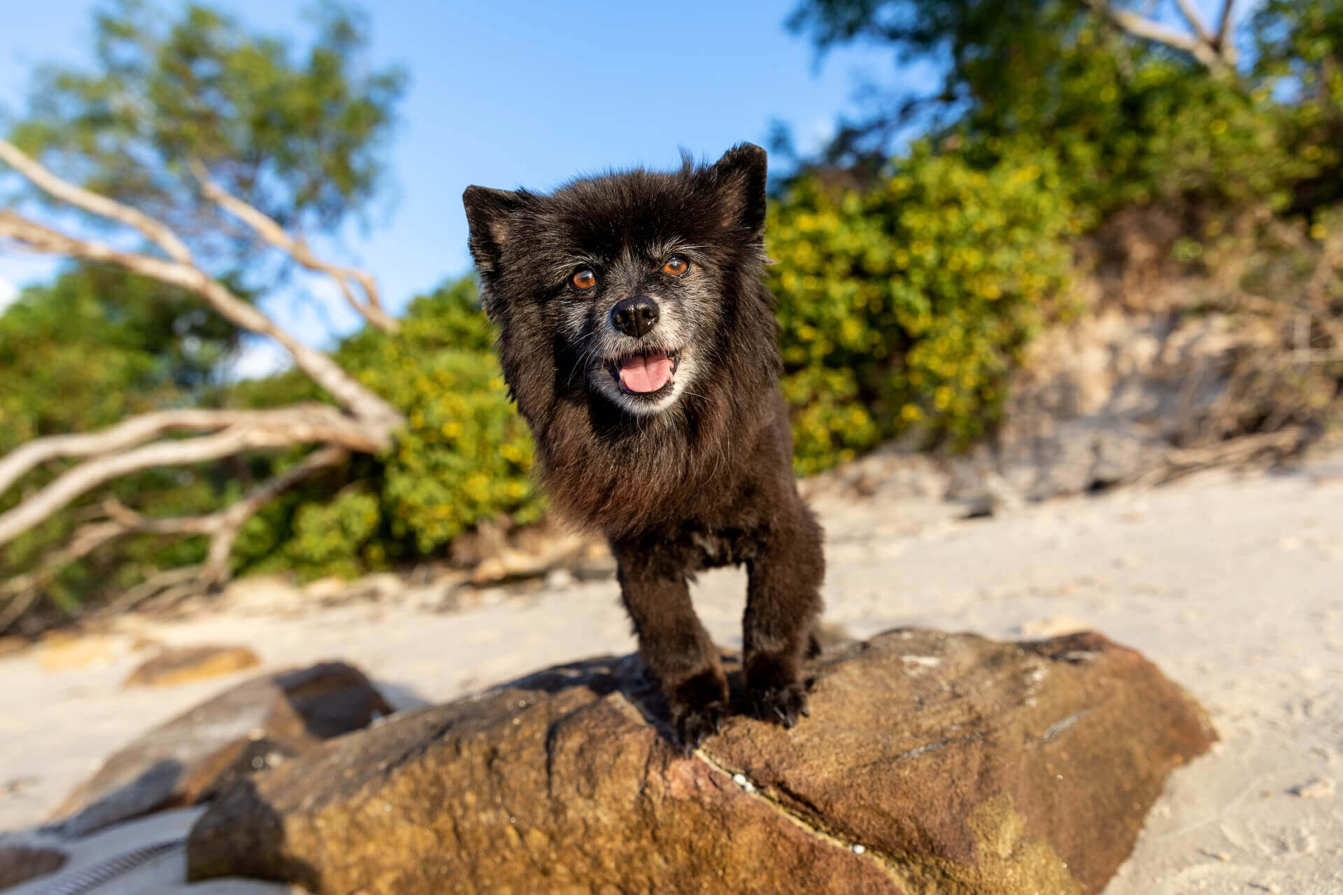 Melo the senior Black Pomeranian at the beach