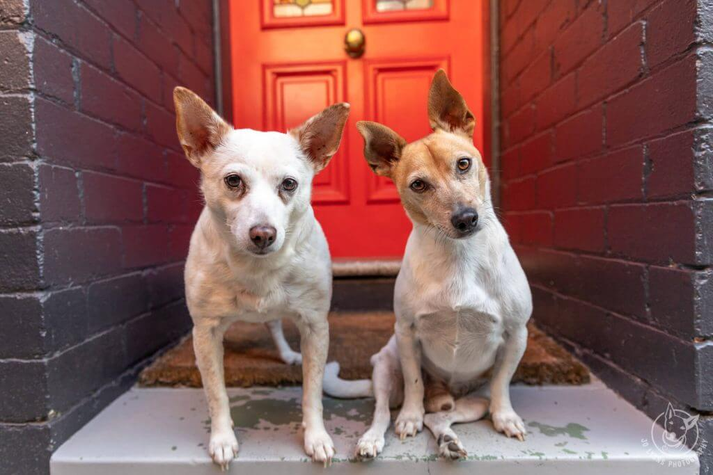 Two small dogs standing in front of red front door