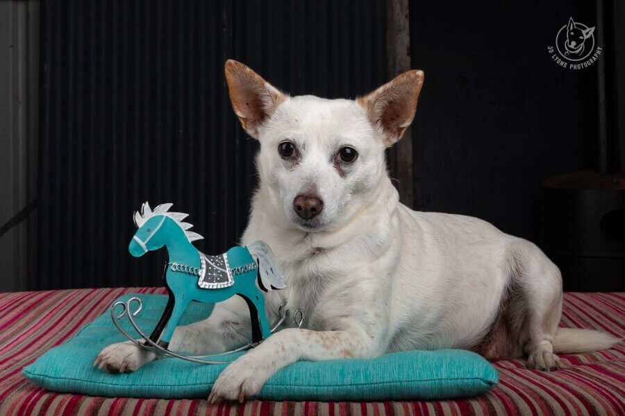 Dog with turquoise rocking horse ornament