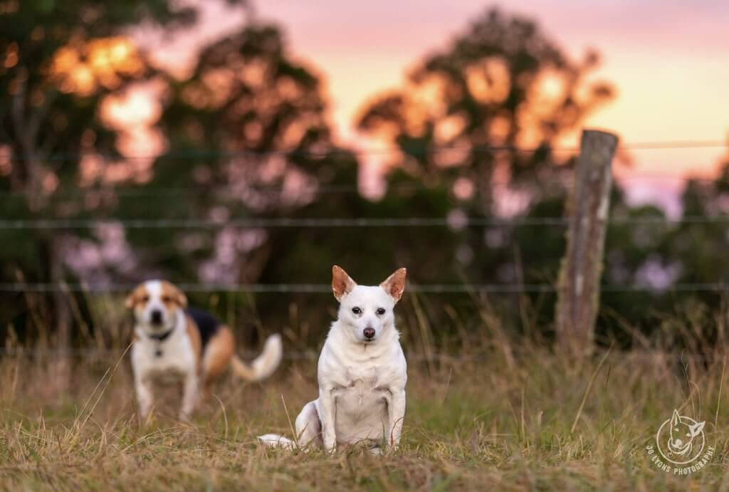 Golden Hour on the farm with two dogs