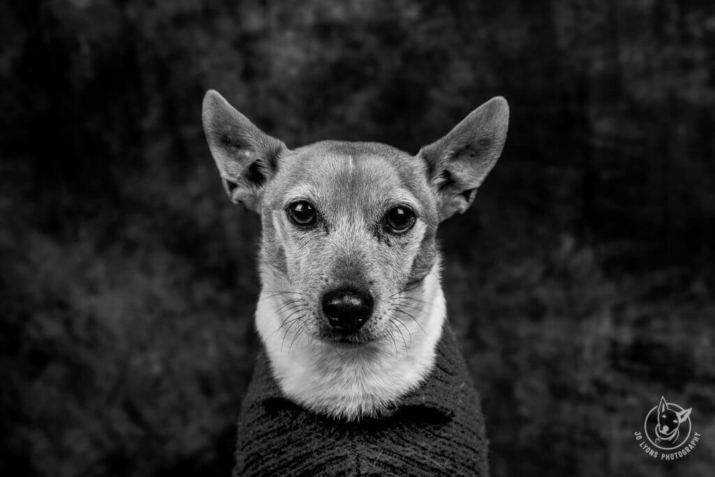 Harvey Chops Lyons the Jack Russell Terrier in Black and White in the studio in the farm shed at Wootton.