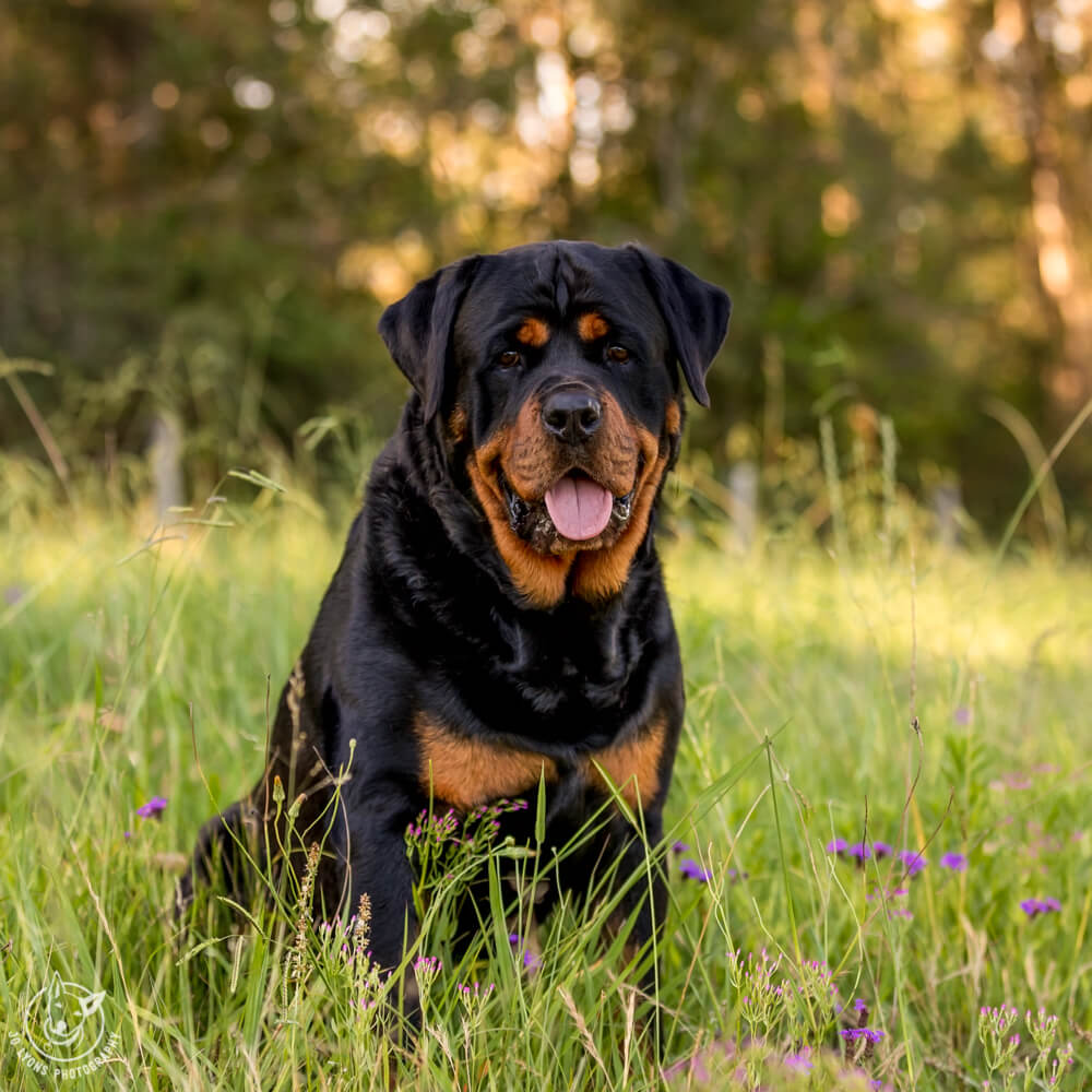 Luther the Rottweiler the professional portrait