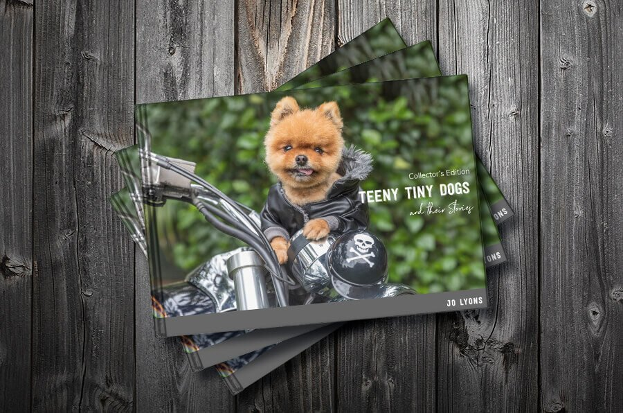 """King Pod the famous orange Pomeranian of """"Paws for Thought"""" Rescue and the cover star of Teeny Tiny Dogs and their Stories"""