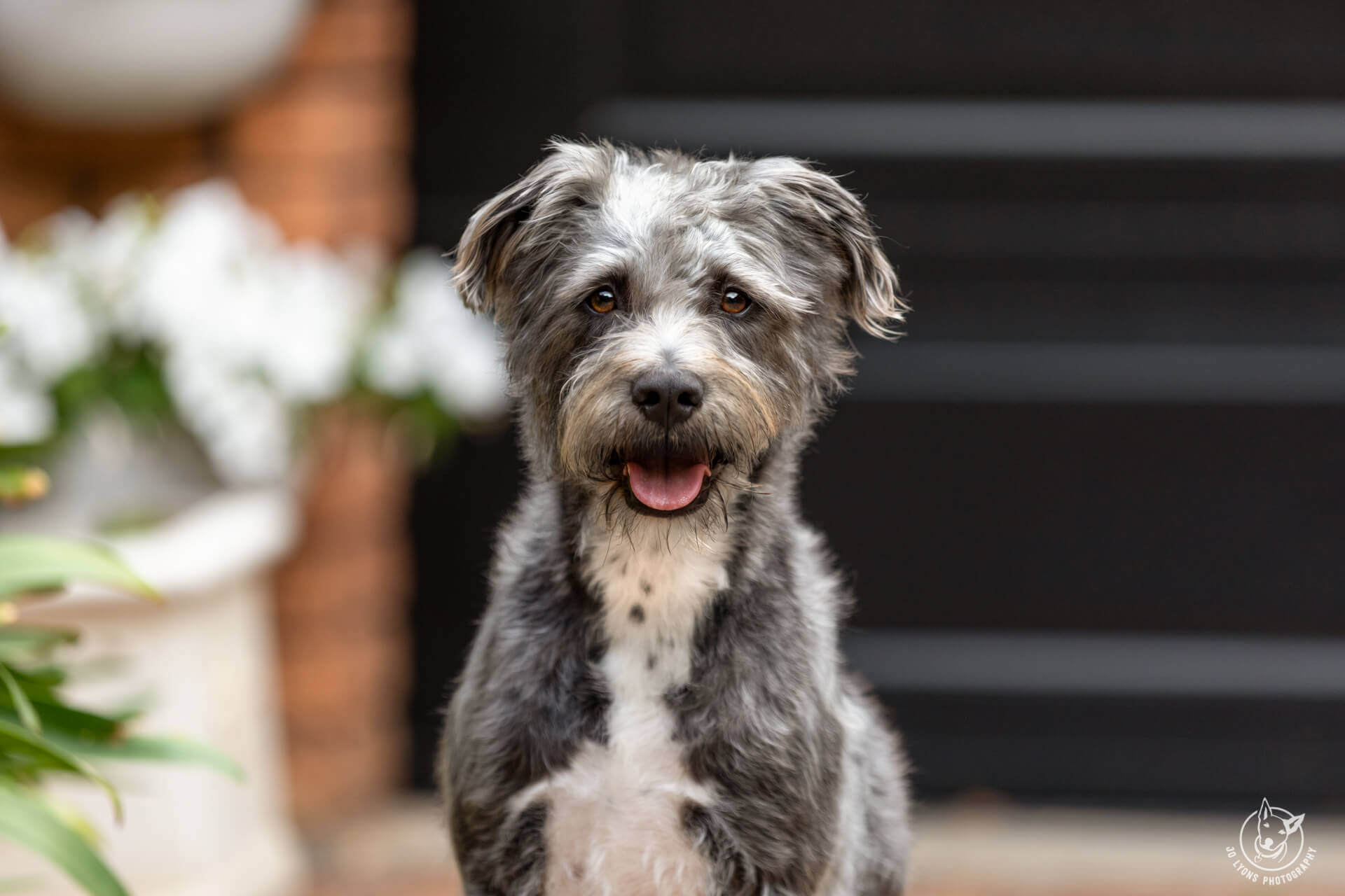 Alfie-Schnauzer Wolfhound sitting in front of black garage door