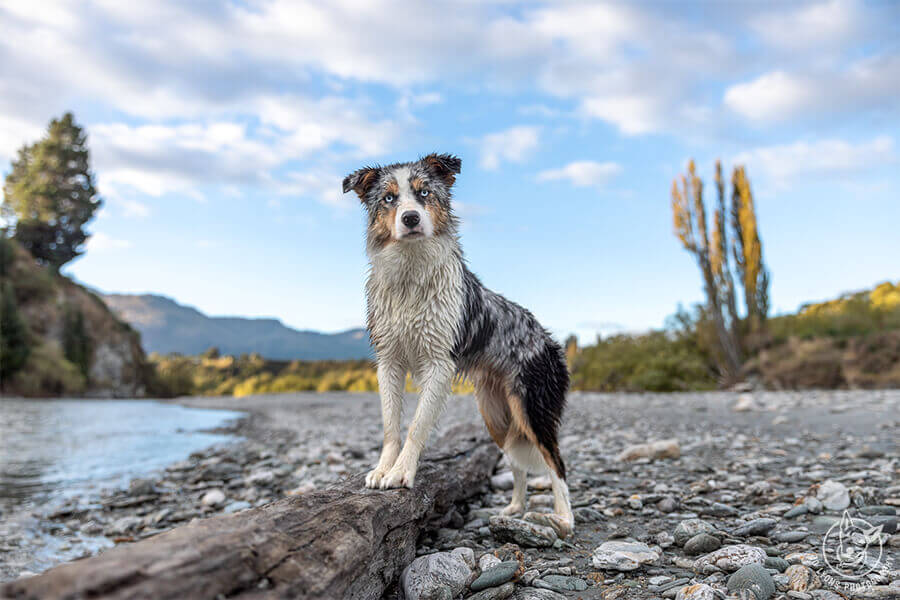Dog Photography Retreat QueenstownBonus the Border Collie Merle posing by the Lower Shotover River in Queenstown New Zealand