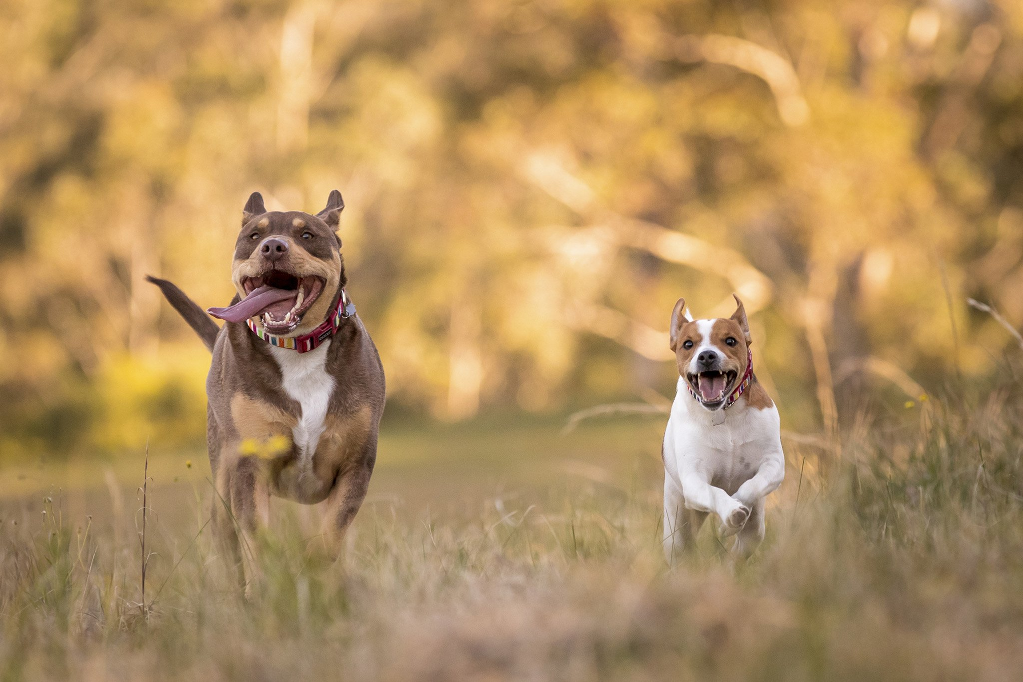 Two dogs running on the farm in the afternoon sunlight