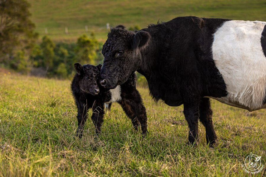 Before and After Belted Galloways - Mother and calf