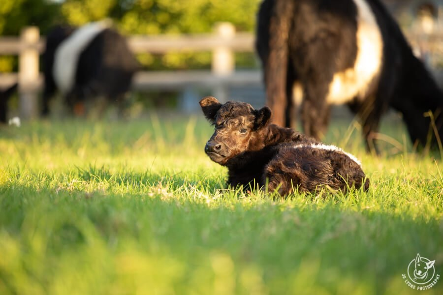 Belted Galloway Calf laying in the grass with cows in the background and golden hour light streaming through.