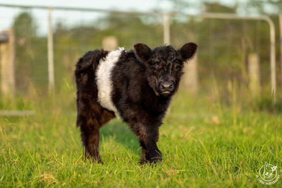 Before and after - photo editing techniques. Belted Galloway Calf standing on the grass in front of a farm gate.