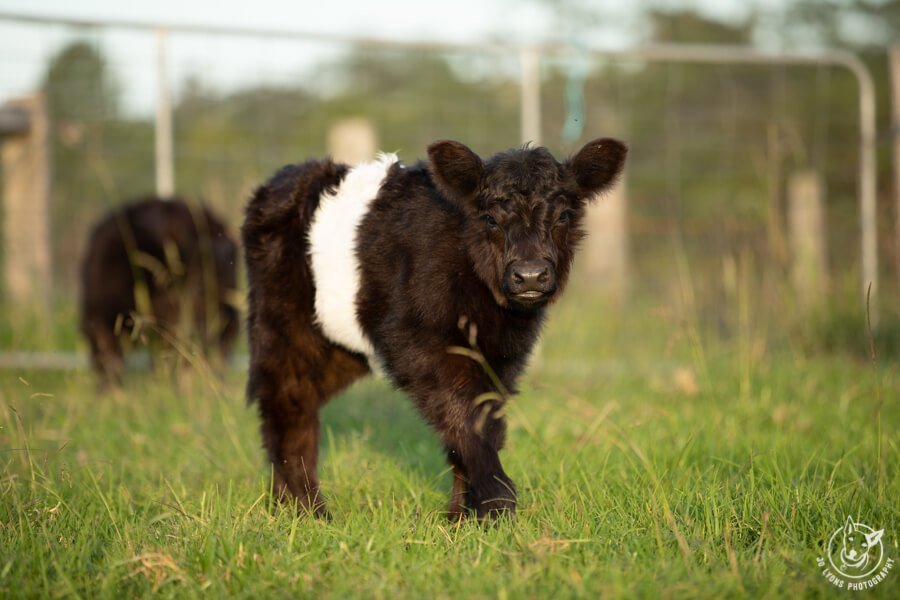 Belted Galloway Calf.