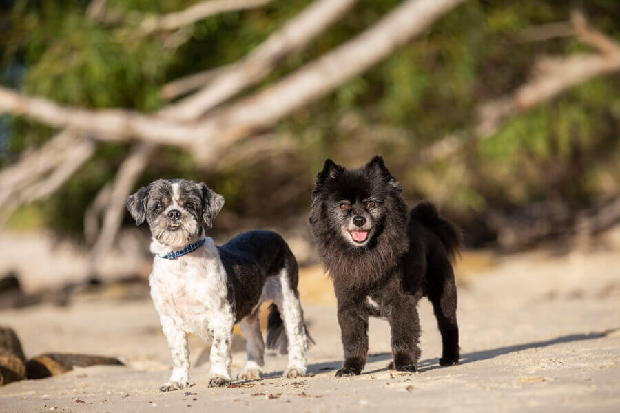 Billy the Shih Tzu and Melo the black Pomeranian at Silver Beach, Kurnell
