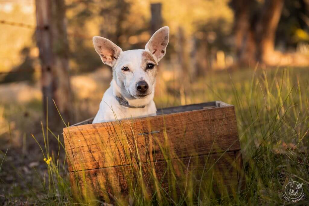 Jack Russell Terrier Dog sitting in wooden box on a farm in the golden hour