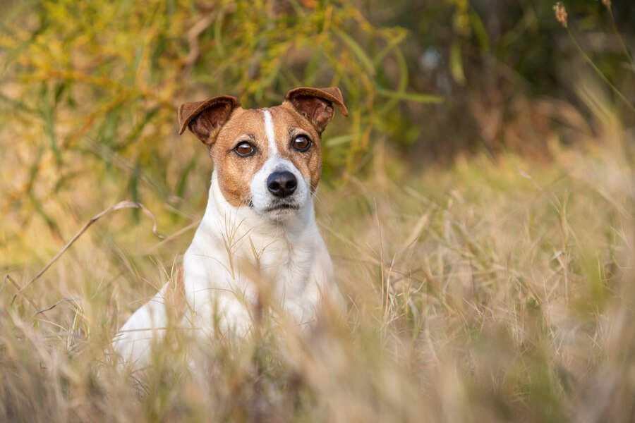 Tan and White Jack Russell Terrier sitting in long grass