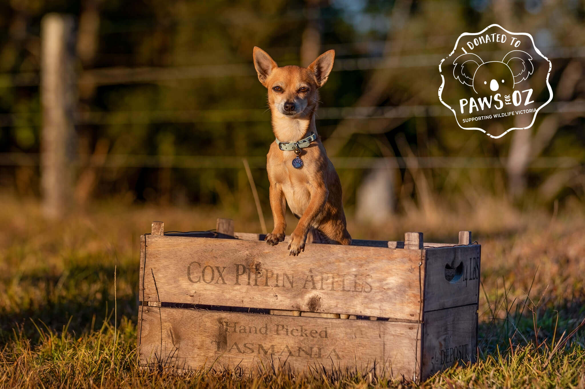 Paws for Oz - Fundraising for Wildlife Victoria. Chico on the Farm in an Apple Box