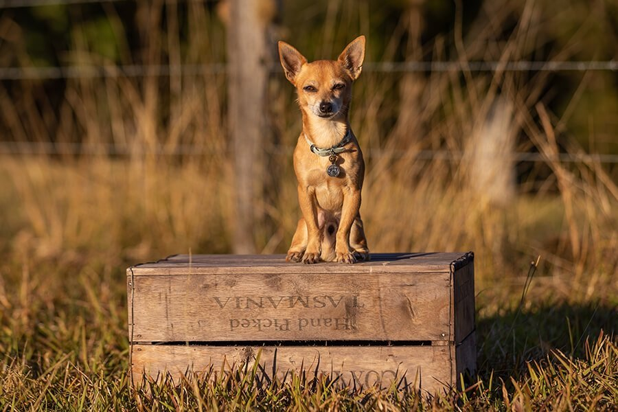 Deer-Headed Chihuahua on Apple Box
