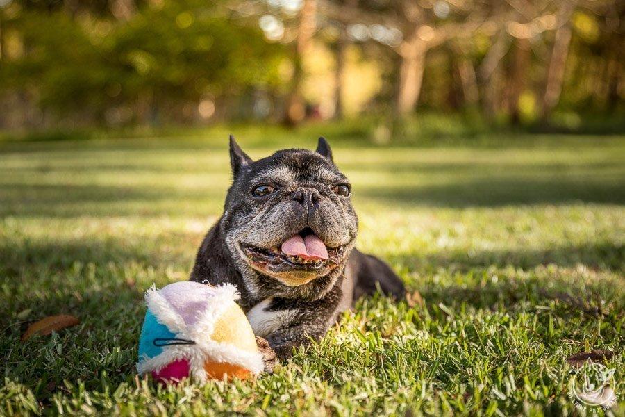 Dogs and their favourite toys - Senior French Bulldog