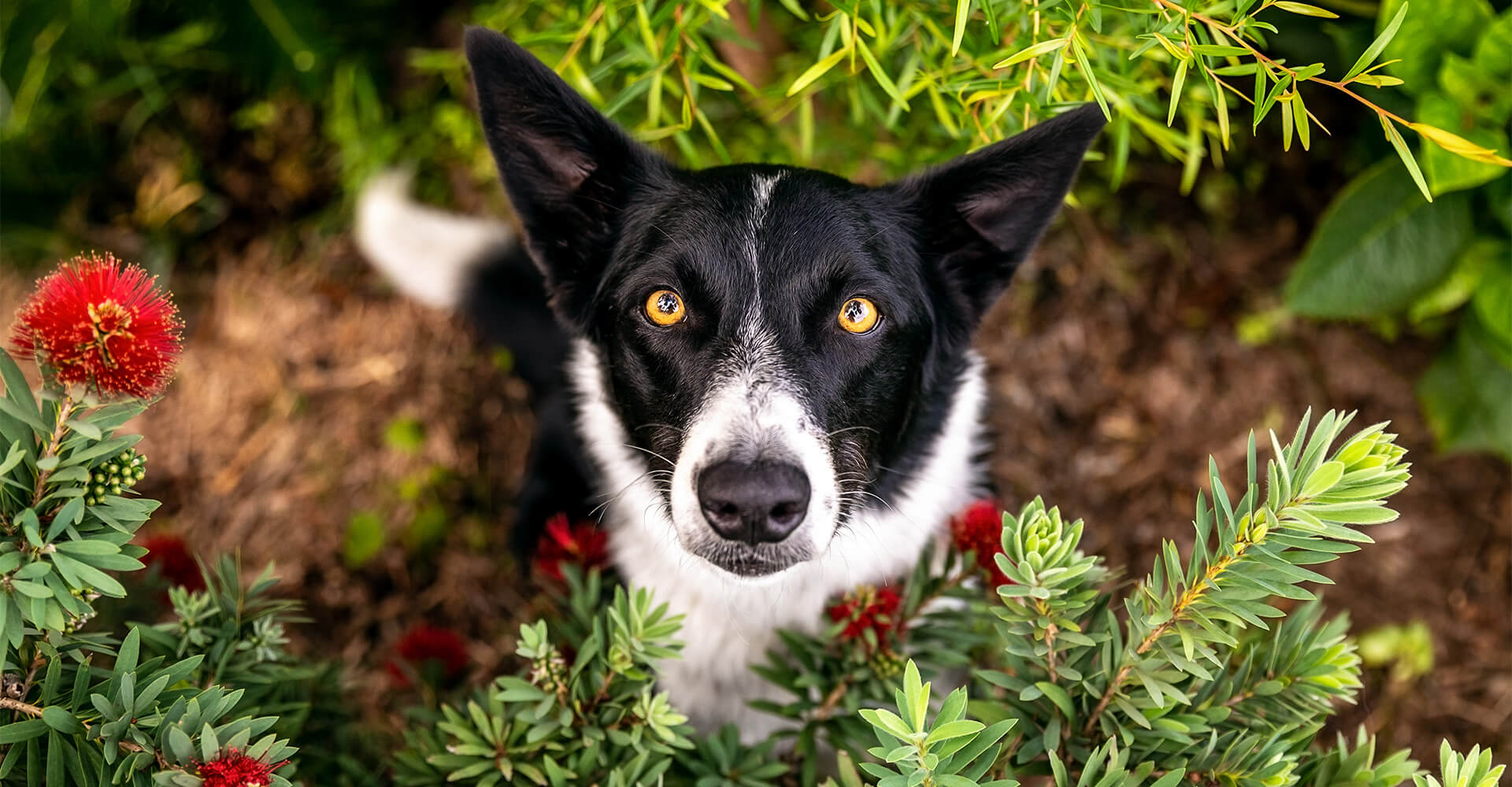 Border Collie sitting in native flower garden