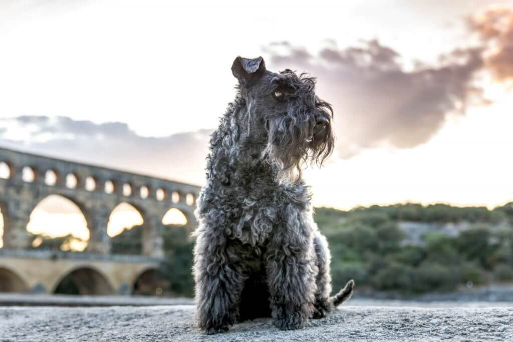 Fletcher the Kerry Blue Terrier at the Pont du Gard