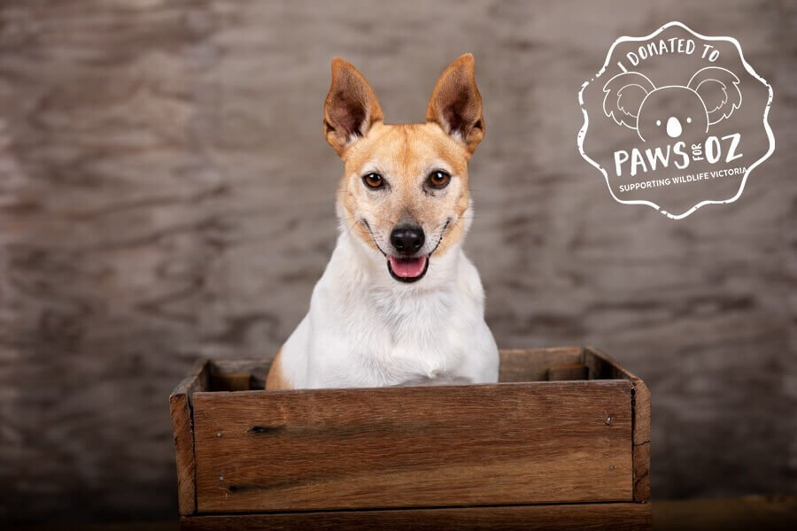Harvey the Jack Russell Terrier in a box in the studio