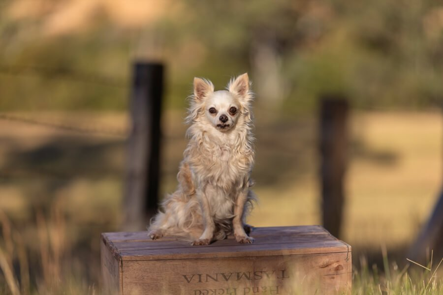 Blonde long-hair Chihuahua sitting on an apple box on the farm