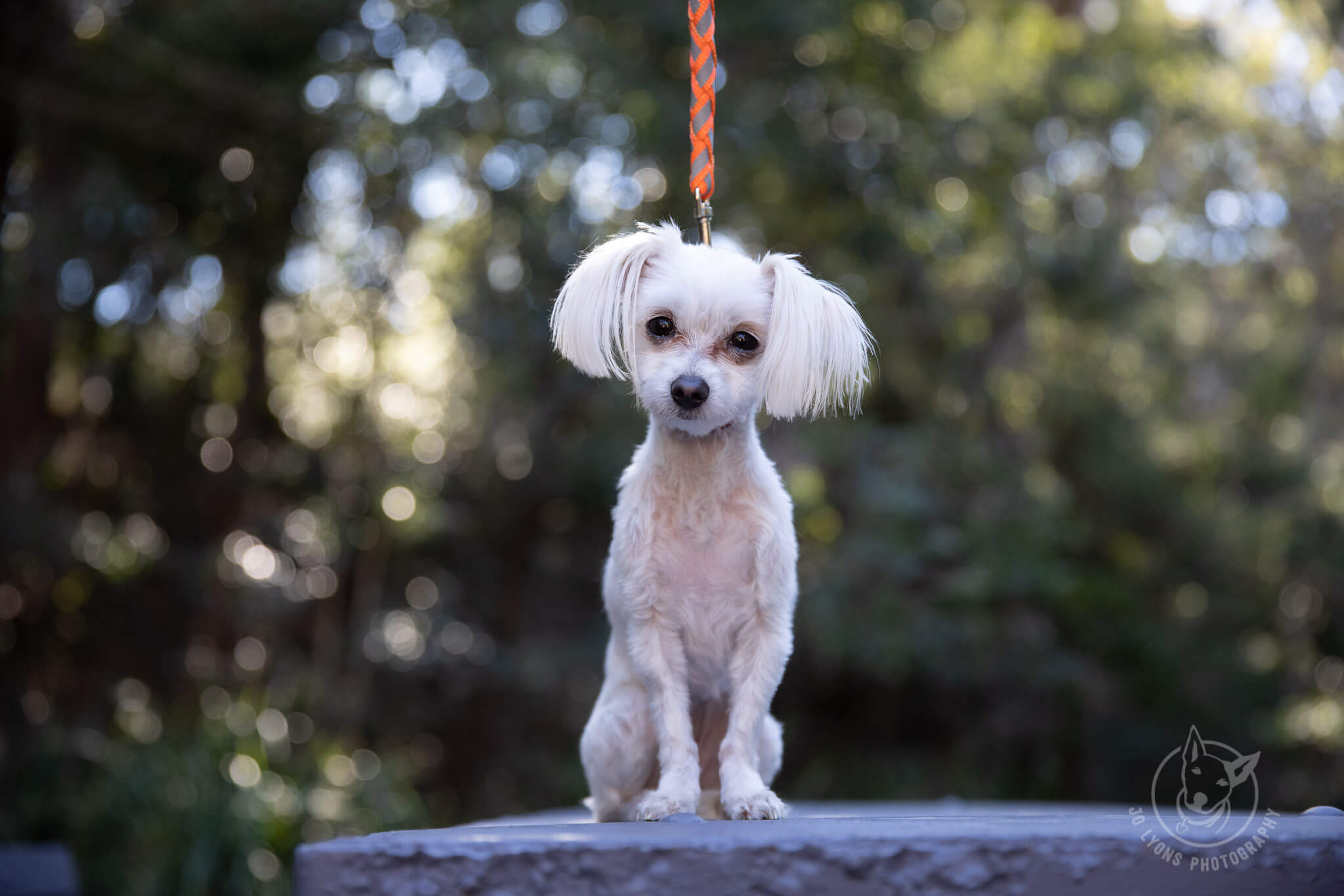 Jo Lyons Photography White Maltese Terrier Before and After