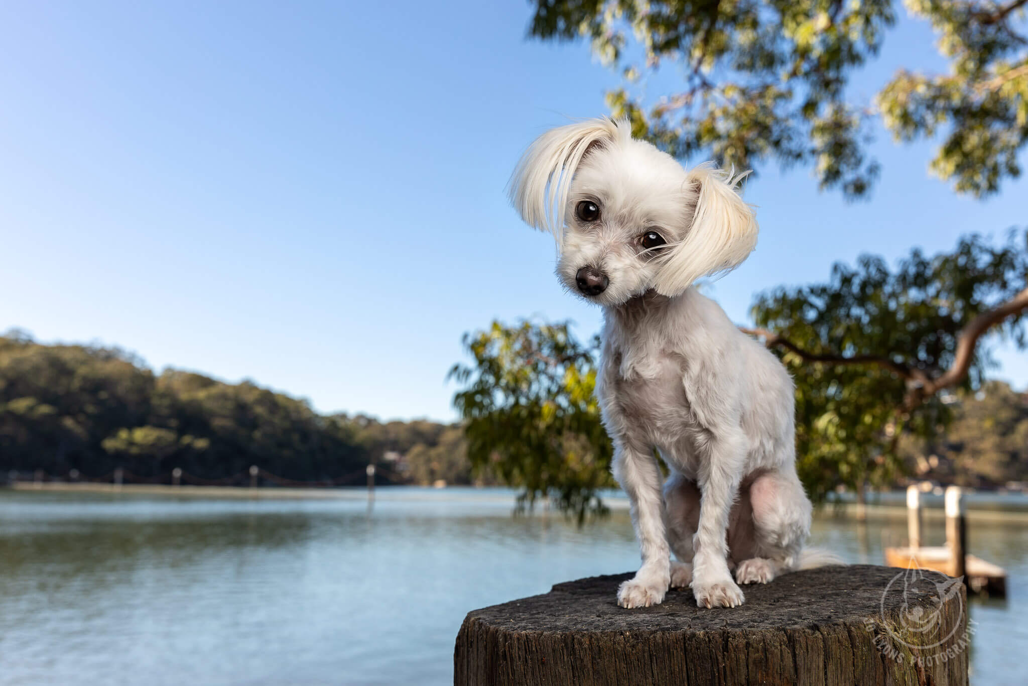 Jo Lyons Photography White Maltese Terrier Before and After. White dogs light my world.