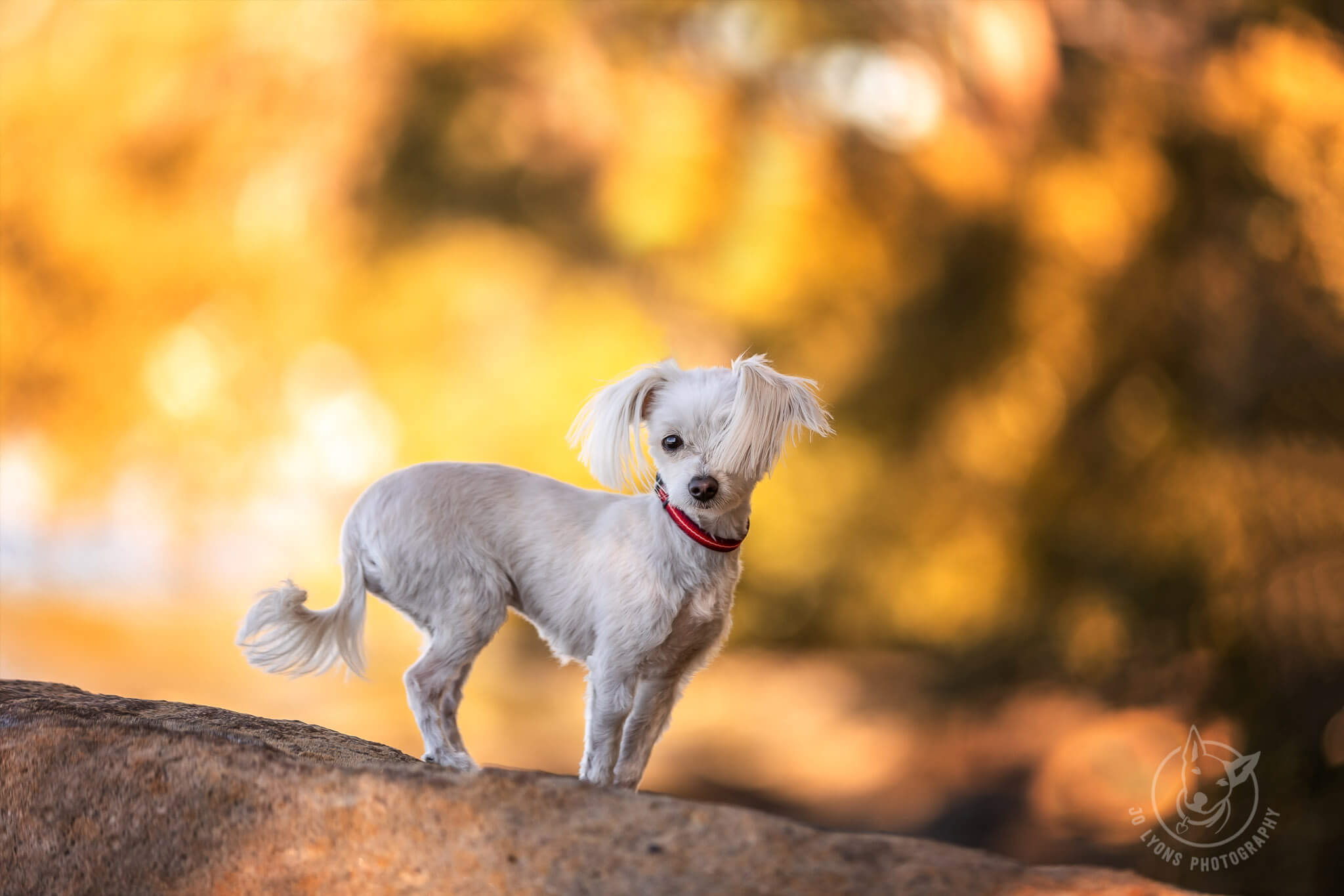 Jo Lyons Photography White Maltese Terrier Before and After. White dogs light my world