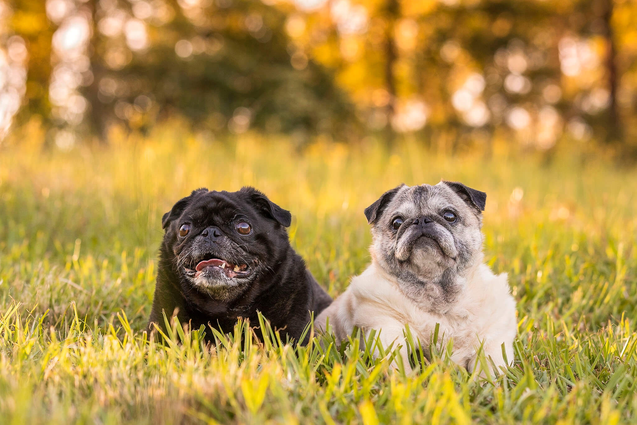 A black pug and a senior cream and black pug sitting in the grass on the farm.