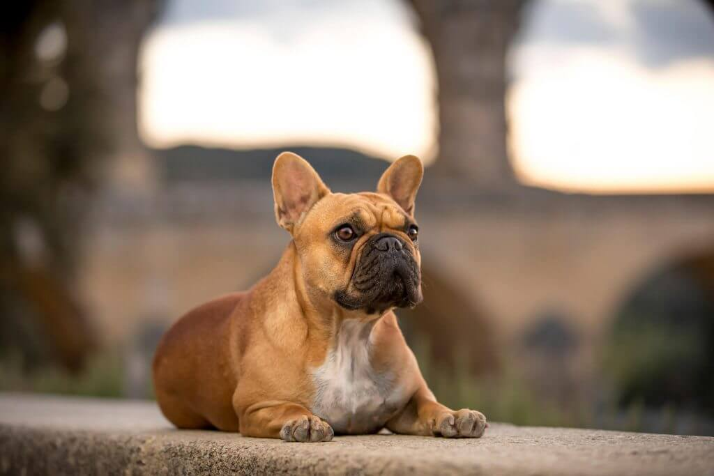 Lady Boulette the French Bulldog at the Pont du Gard