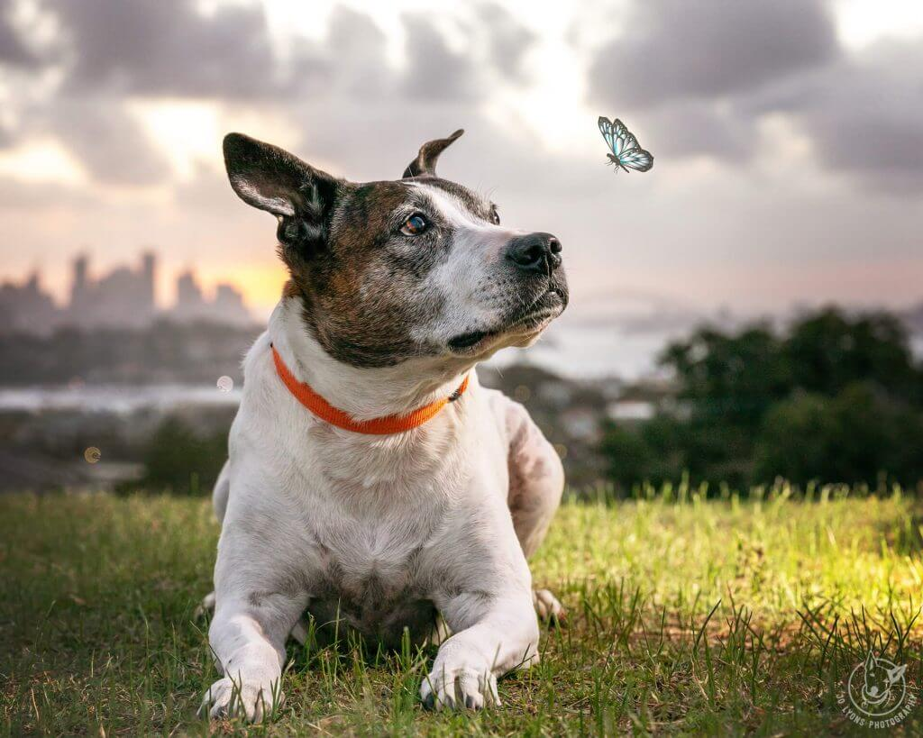 Layla the Staffy with Indi who is now a butterfly spirit with a Sydney sunset horizon