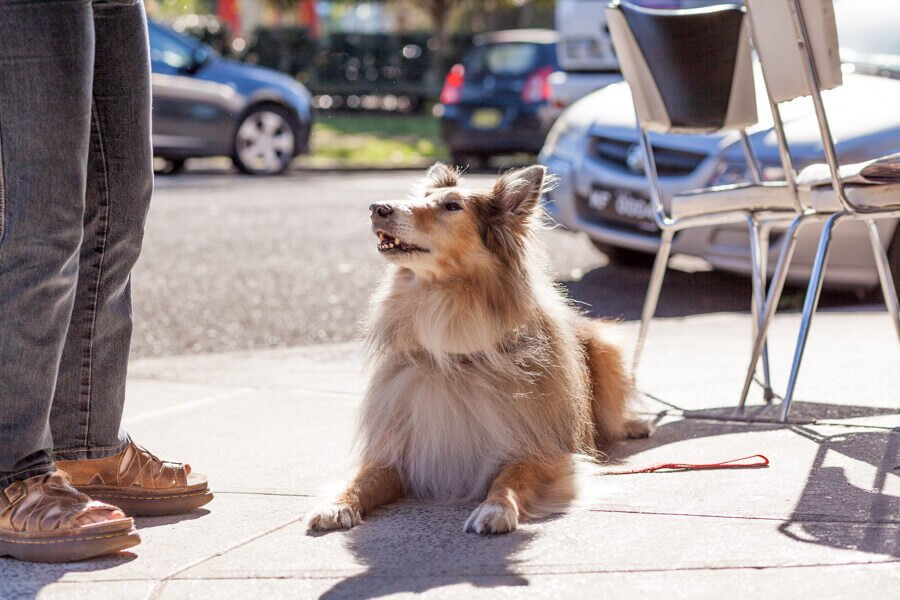 Collie Dog at Pettycash Cafe Enmore with man on a sunny day