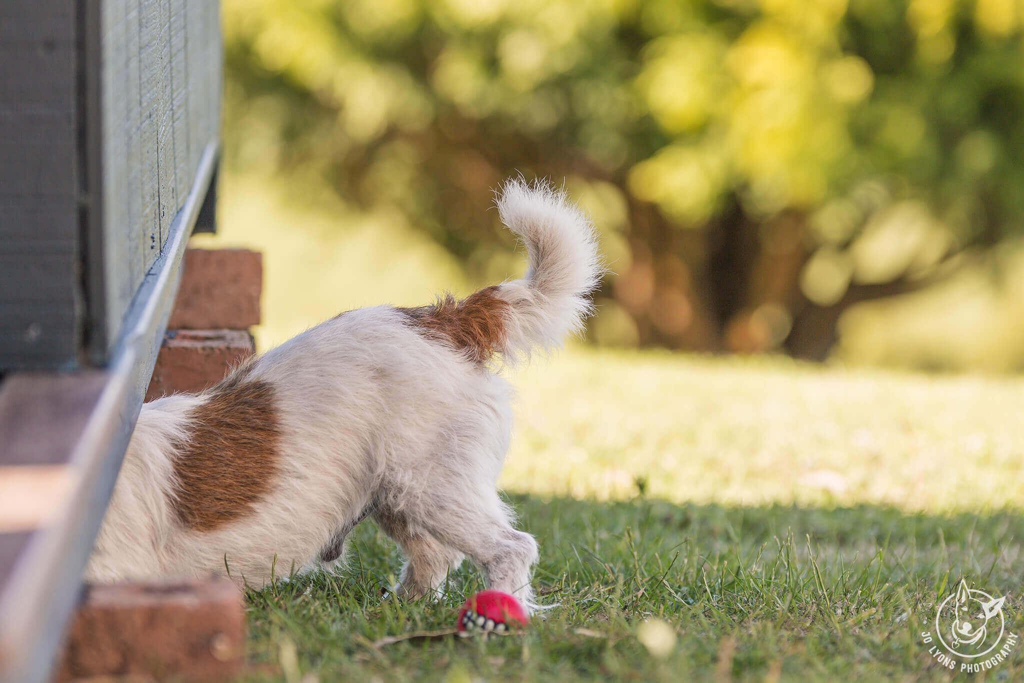 Jack Russell Terrier up to mischief