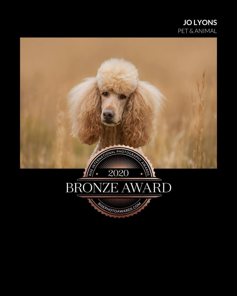 Rise Bronze Award 2020 Portrait of Apricot Standard Poodle named Freddie Mercury
