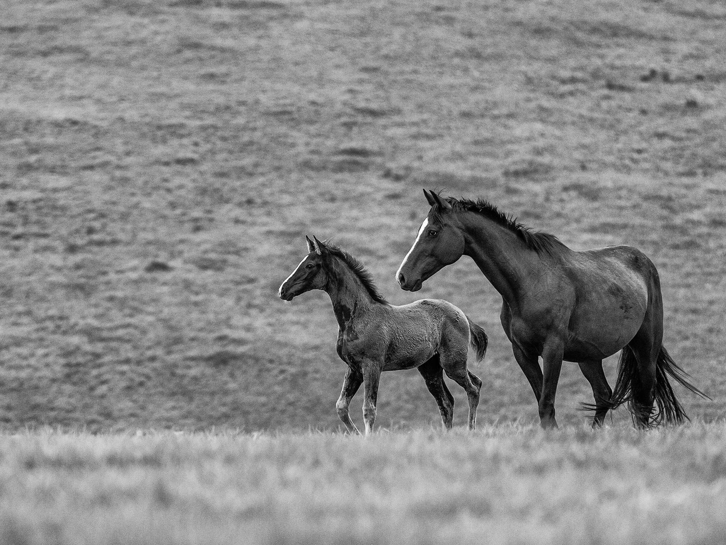 Shades of Grey - Filly and Mare