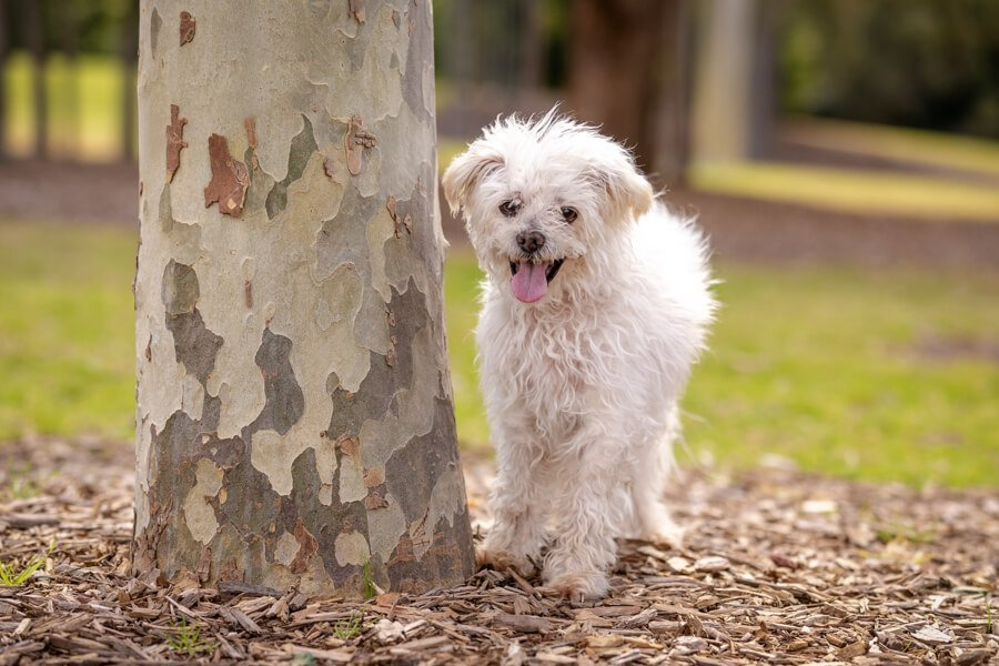 Senior White Maltese Terrier smiling and standing by a tree