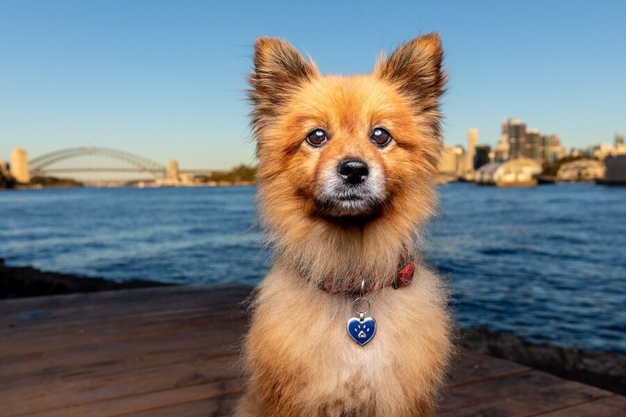 Red Pomeranian sitting on jetty with Sydney Harbour Bridge in the background