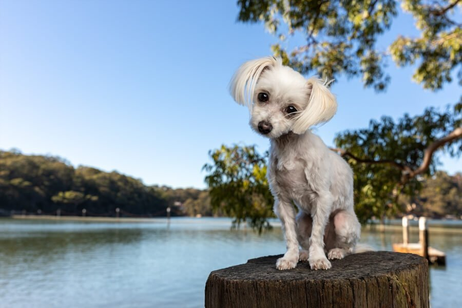 White Maltese Terrier on a timber pylon by the Oatley Baths