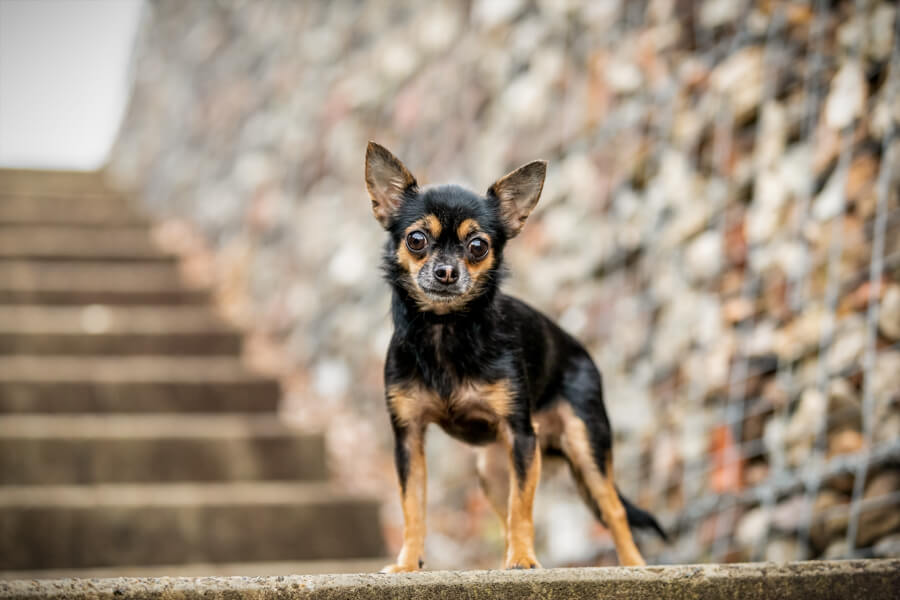 Black and tan Chihuahua standing on the steps at Ballast Point Reserve in Balmain, Sydney, Australia