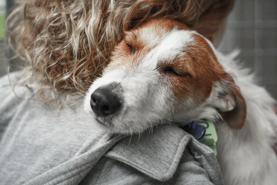 Wire haired Jack Russell Terrier being hugged with eyes closed