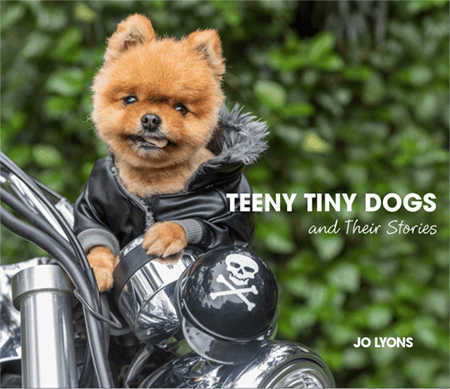 Pomeranian Dog on a motorbike in full leathers